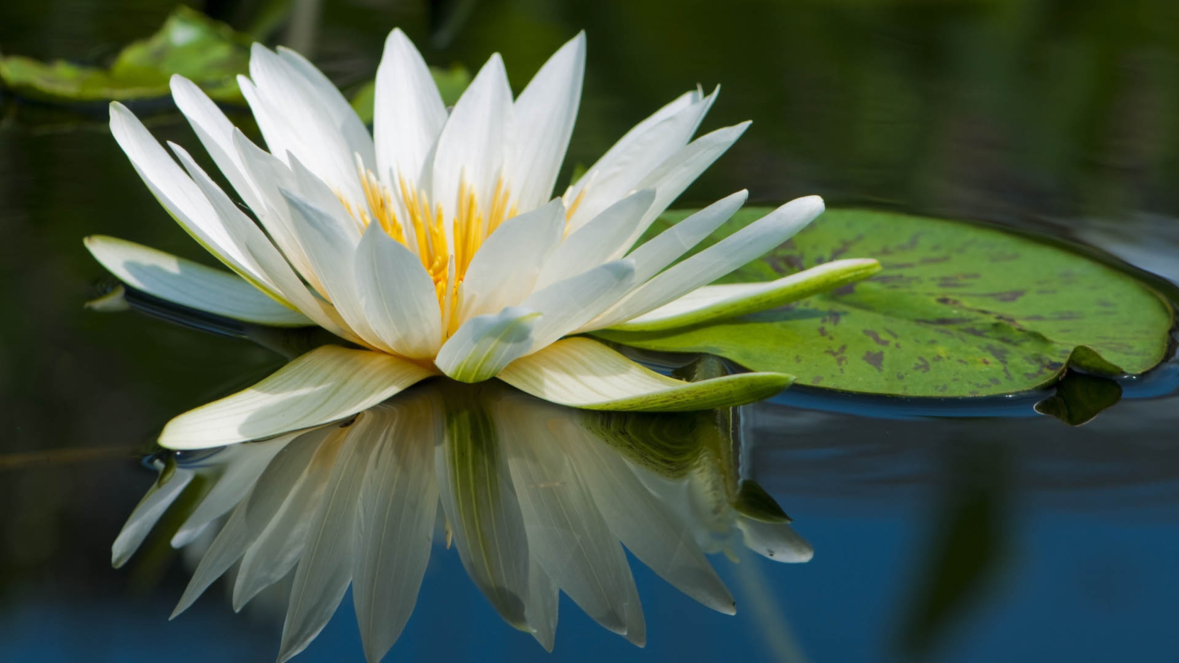 Blumenel Bastelanleitung wallpaper 3840x2160 lotus flower water petals 4k ultra