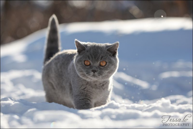 British Shorthair Cat I Will Have One Someday Cat Cat British Shorthair Cats In 2020 Pretty Cats Cute Cats Crazy Cats