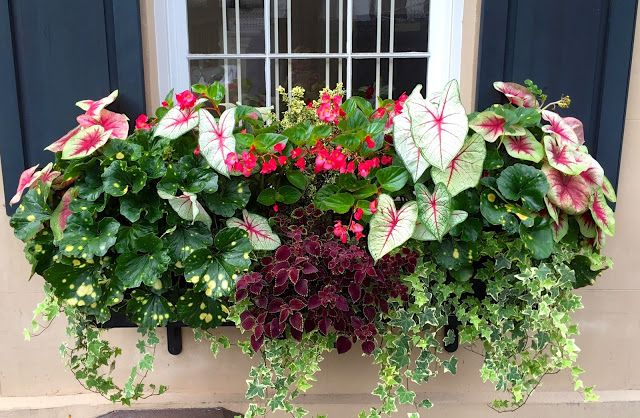 shade flowers for window boxes outside window window box ideas shade part sun caladiums begonias ivy cascading easy to maintain warm summer through fall