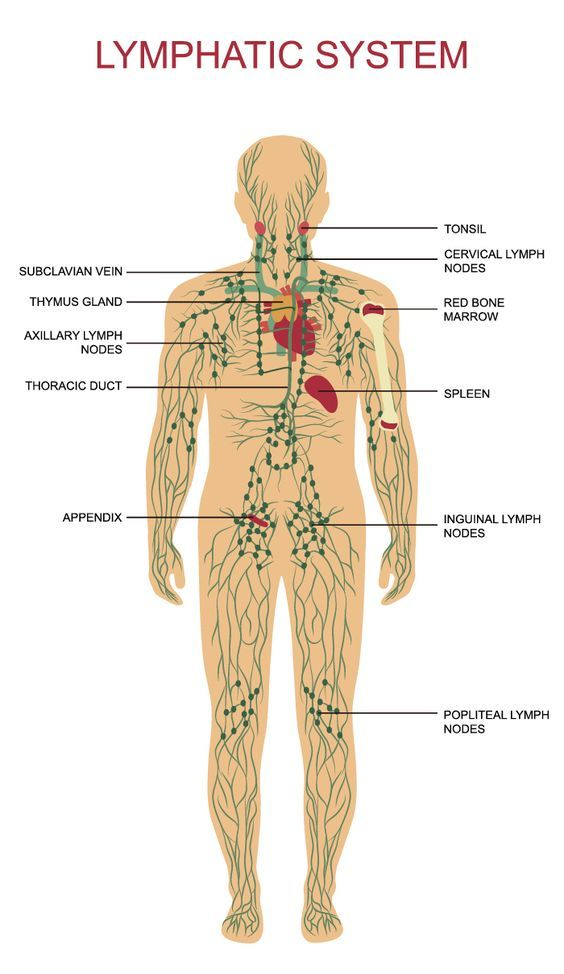The Lymph System Is A Network Of Organs Nodes Ducts And Vessels
