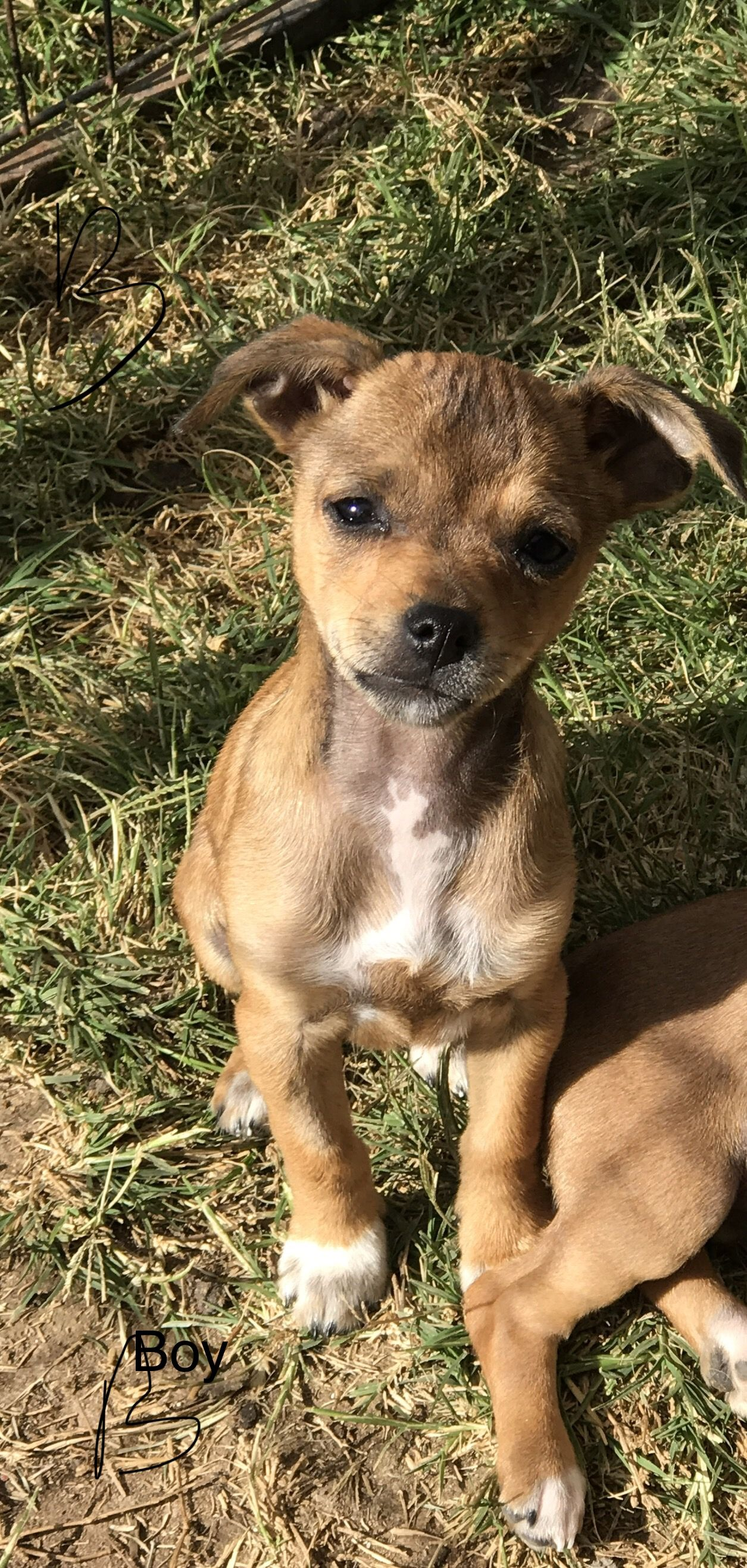 Chihuahua Dog For Adoption In Fresno Ca Adn 803377 On