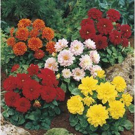 1 5 Gallon Dahlia L3480 Nursery Dahlia Winter Plants Fall Plants