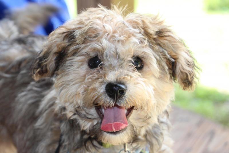 Adopt Milo on Petfinder Terrier dogs, Dogs, Terrier