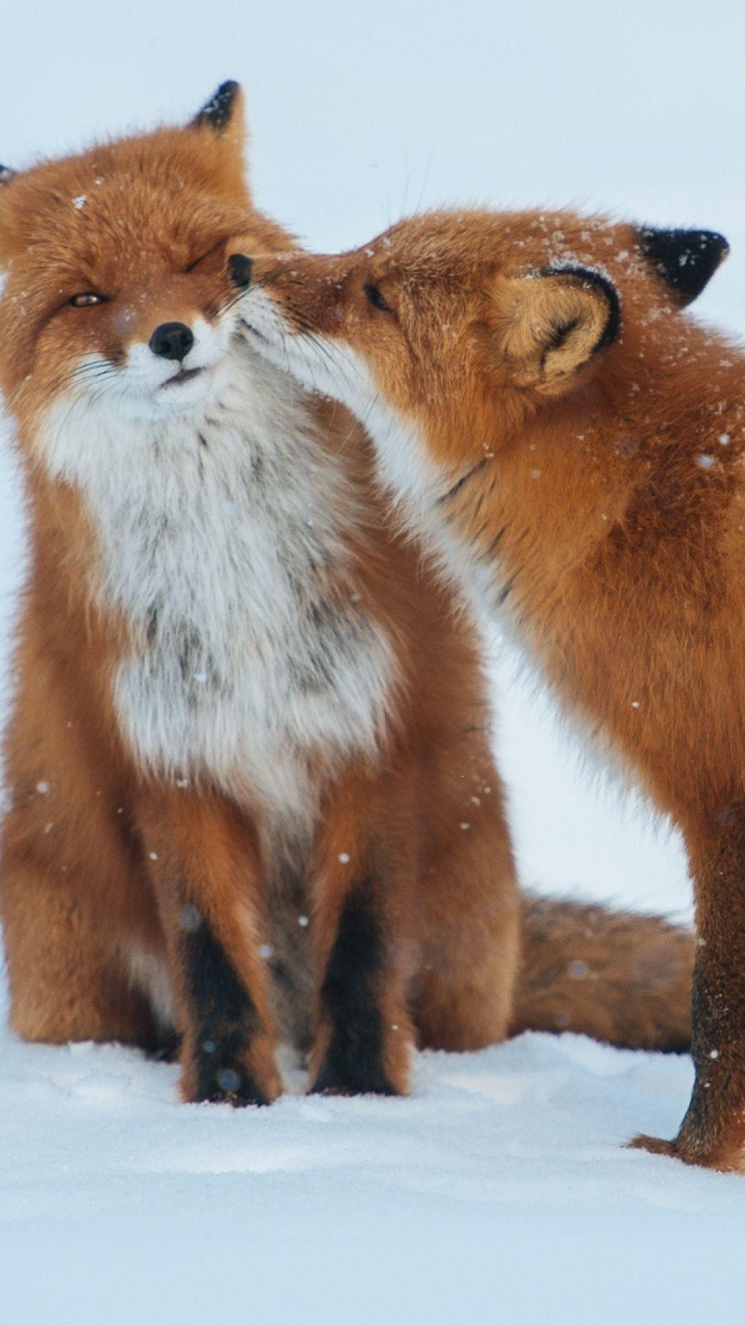 1080x1920 Wallpaper Fox Couple Snow Winter Care Zorros Animals Cute