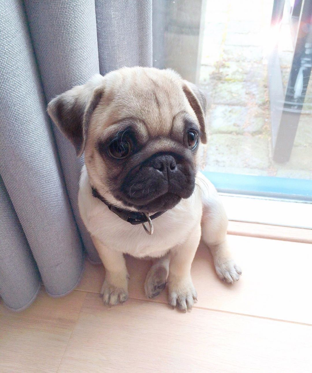 Pin By Iain Brisbin On Cute Animals Pug Puppies Baby Pugs Dogs