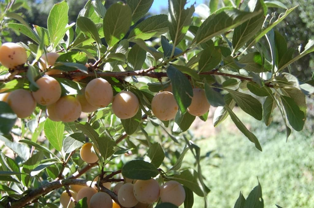 Heirloom Fruit Trees For Home Farm Trees Of Antiquity Rooted Organic Fruit Trees Fruit Garden Fruit Tree Nursery