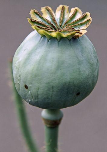 Opium poppy pod drawing fodder pinterest seeds flowers and plants opium poppy pod by rossouk via flickr mightylinksfo