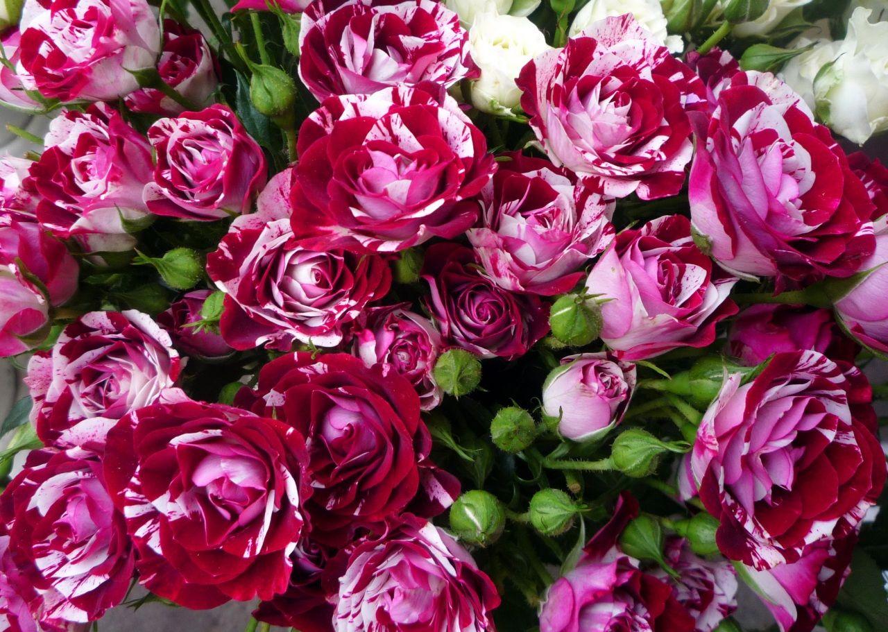 Обои розы, бутоны, mnogo. Цветы foto 19