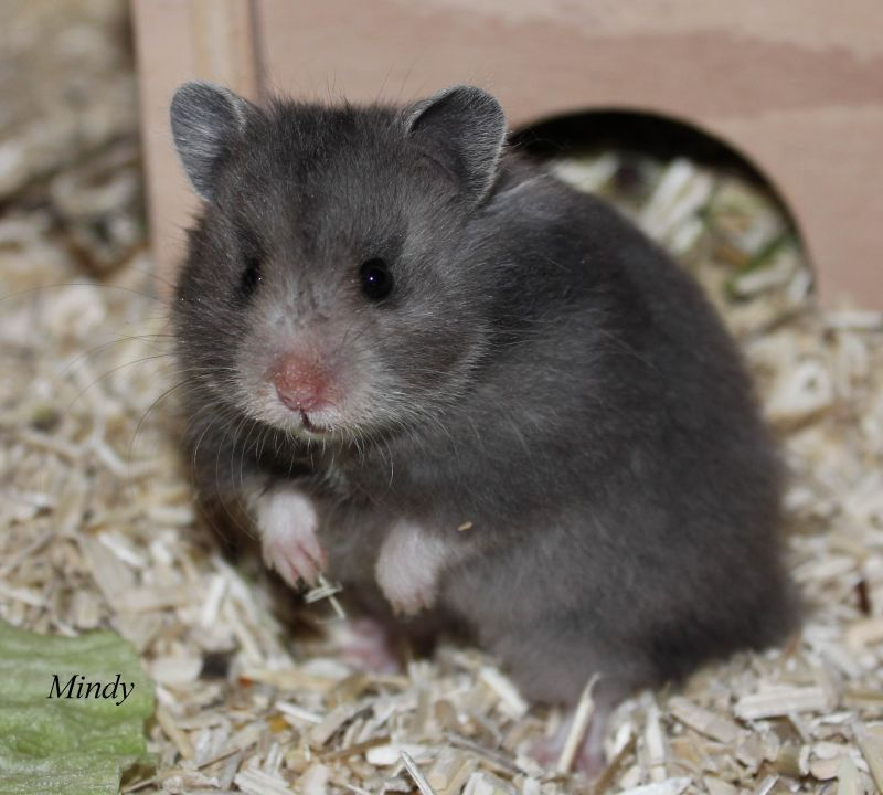 Pin By Sofia On Pet Mice Hamster Syrian Hamster Cute Hamsters
