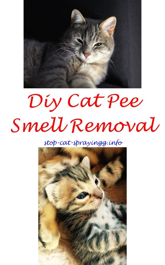 Female Cat Spraying Wall Citrus Spray Furniture Comfort For Cats How To Stop 3843395167 Neuteredmalecatspraying