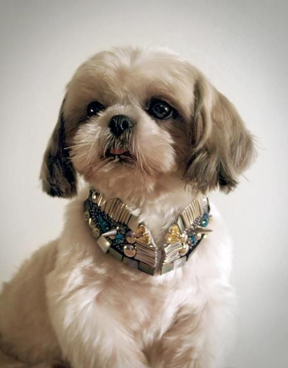 Toton Pet Project 01 Nobel 5 Year Old Shih Tzu In Toton Collar