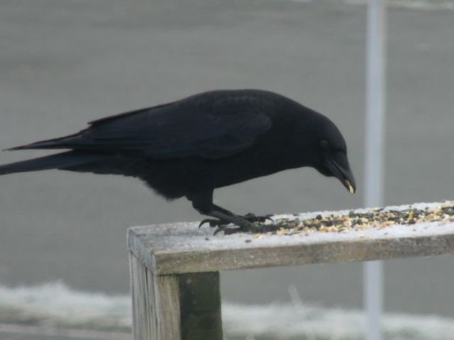 American Crow at my Feeders.