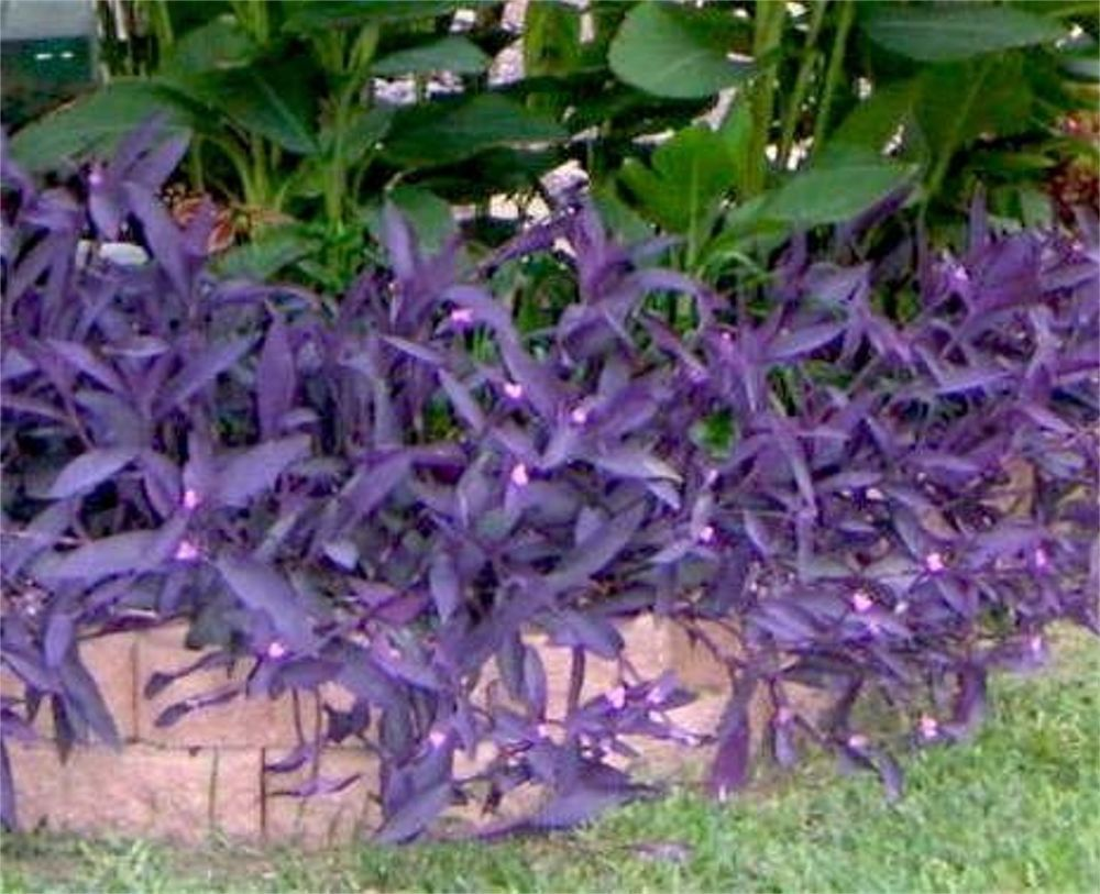 Purple heart wandering jew tradescantia pallida purpurea plant my florida plants pinterest - Wandering jew plant name ...