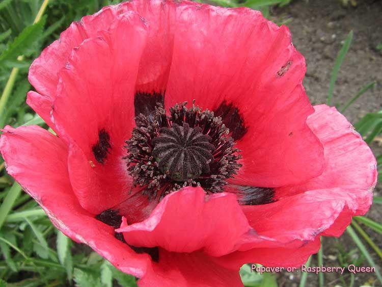 Papaver Or Raspberry Queen Blumen Stauden Und Mohnblume