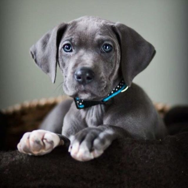 Blue Great Dane Puppy With Images Dane Puppies Great Dane Puppy Dane Dog