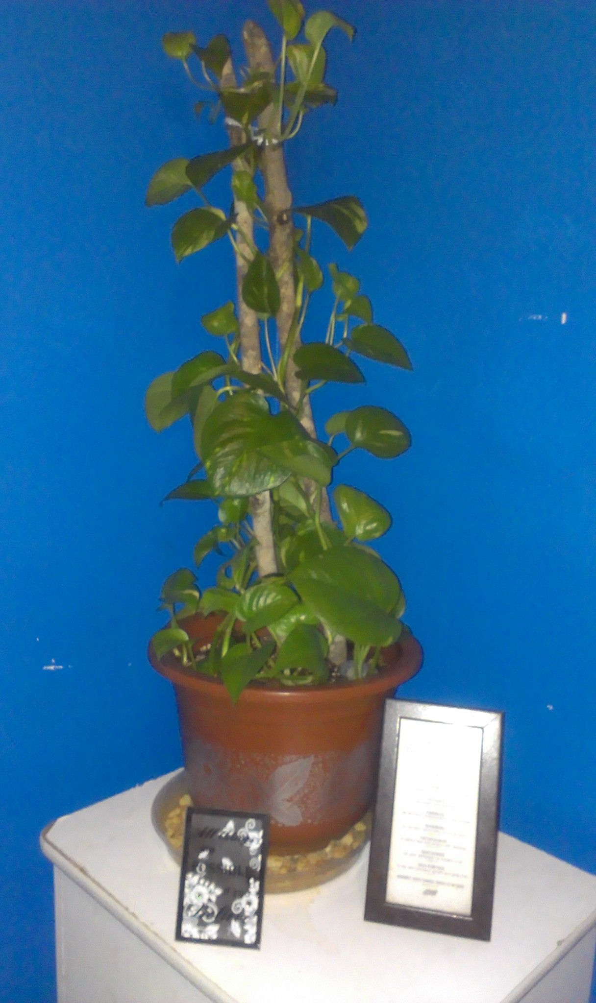 Repotted Golden Pothos after I trimmed the long hanging vines that