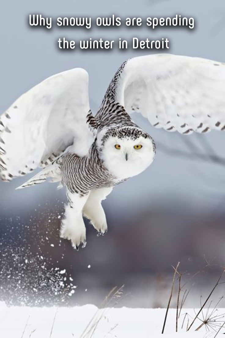 Why snowy owls are spending the winter in Detroit Snowy