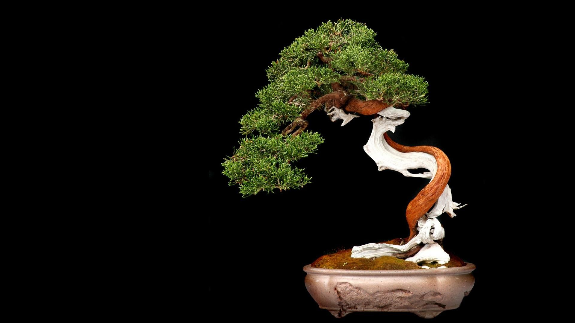 Bonsai Wallpaper Japanese Bonsai Tree Japanese Bonsai Bonsai Tree