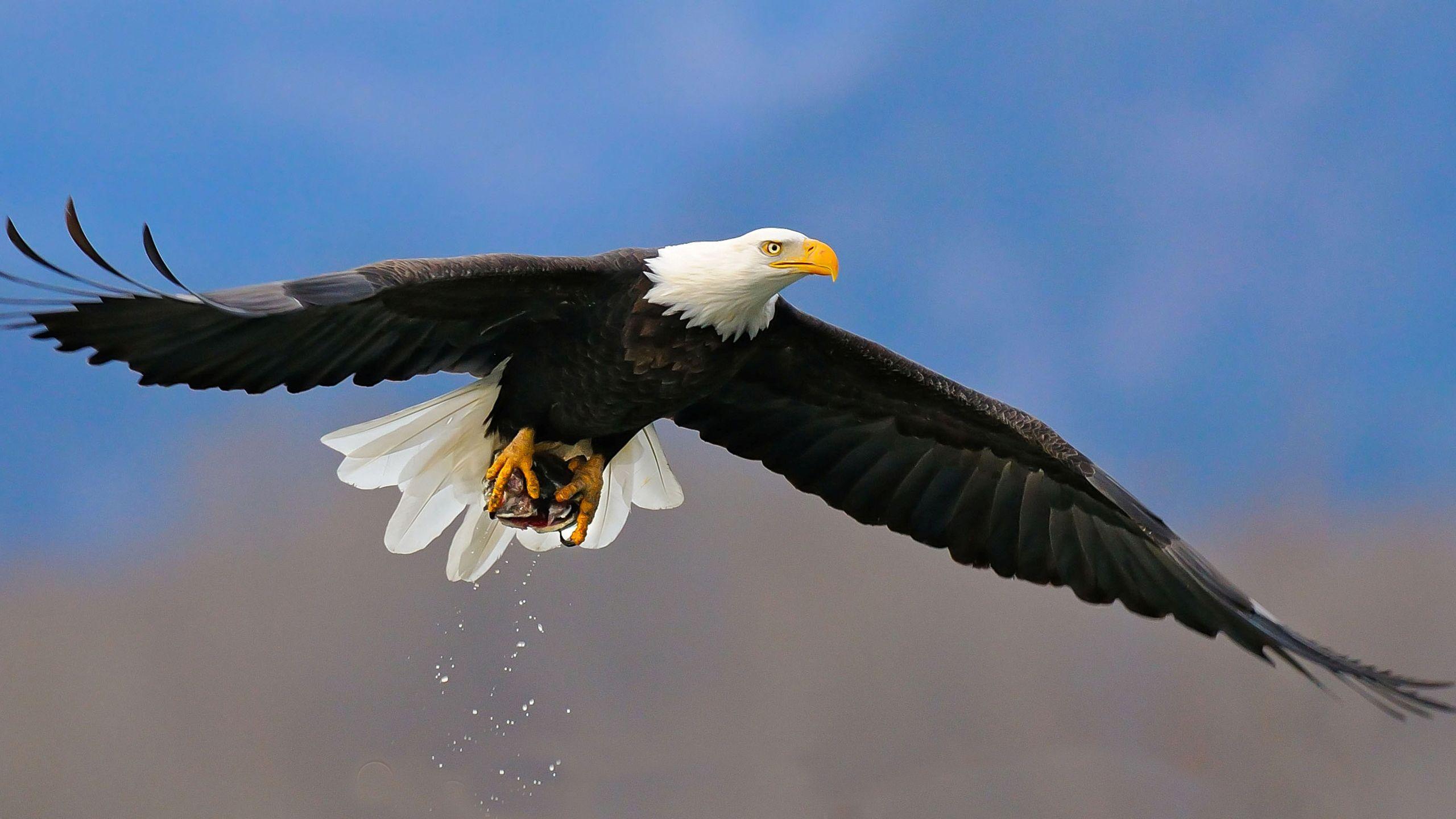 Bald Eagle Wallpaper Eagle Wallpaper Bald Eagle Wallpaper Bald Eagle Eagle wallpaper hd download