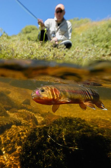 Cool pic! Fly fishing for golden trout