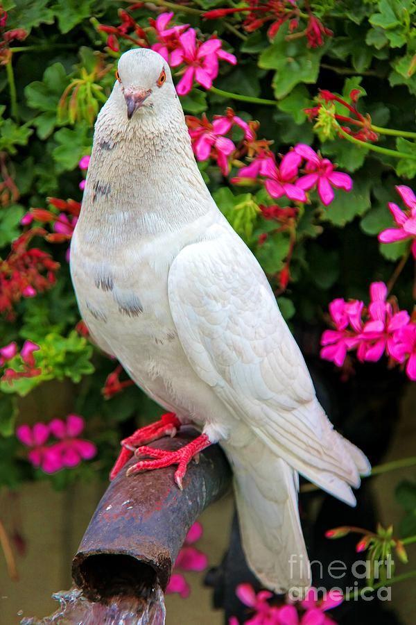 Beautiful White Pigeon By Mariola Bitner White Pigeon Cute Pigeon Beautiful Birds