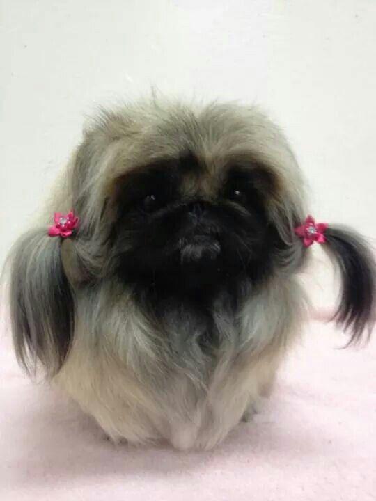 875b7aebd379e2787690dc936a7f14f1 Jpg 540 720 Pekingese Puppies Pekingese Dogs Dogs