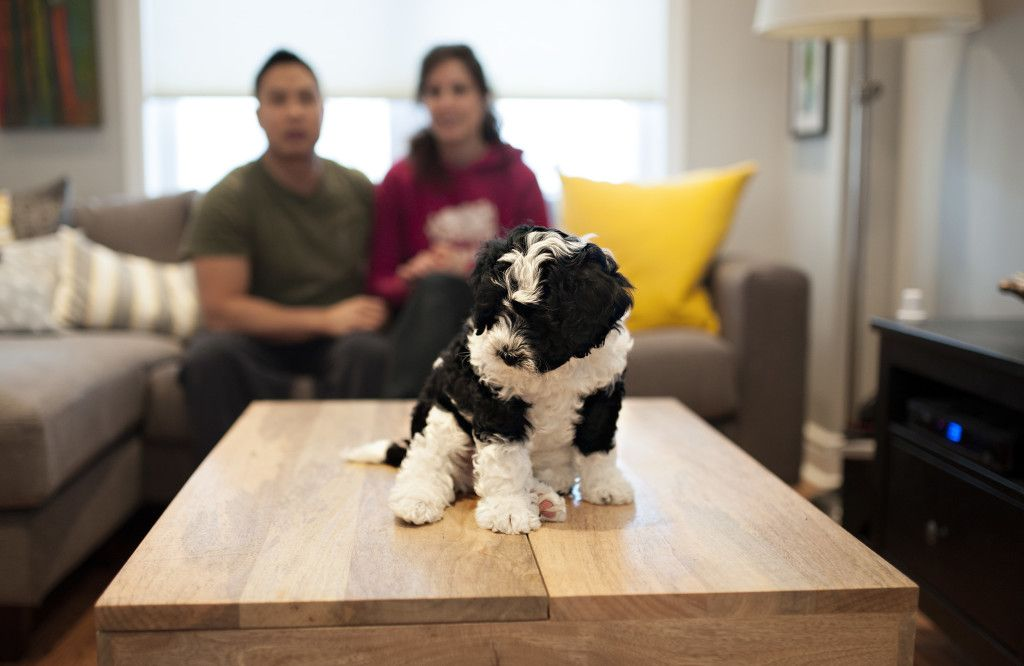 Welcome Home Lincoln Edmonds And Mckinlay Photography Bernadoodle Mini Bernedoodle Bernedoodle Puppy