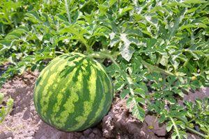 melonen anbauen pflanzen selbst ziehen. Black Bedroom Furniture Sets. Home Design Ideas
