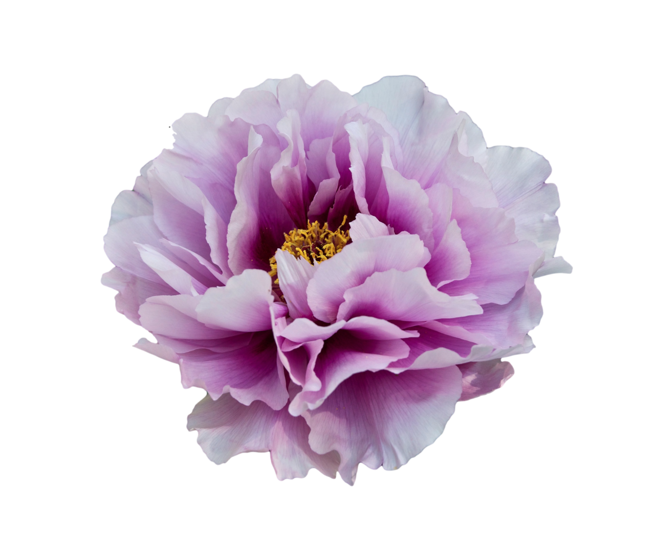 Transparent Flowers White And Purple Peony X Transparent Flowers Purple Flowers Botanical Flowers