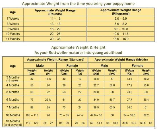 Rottweiler Growth Chart - Know What To Expect As Your -2938