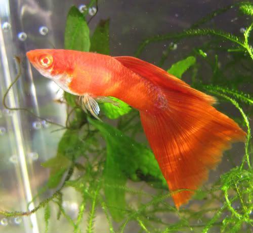 full red guppy