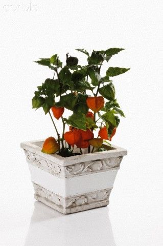 Chinese lantern plant (Physalis alkekengi) in flower pot | Physalis on climbing nightshade plant, bleeding heart plant, chinese paper lanterns, abutilon plant, chinese flying lanterns, lace aloe plant, rhododendron plant, snapdragon plant, baloon flower plant, chinese money plant, chinese tomato plant, flowering maple plant, foxglove plant, chinese rain tree, bittersweet plant, lupine plant, chinese red plant, verbena plant, bird of paradise plant, chinese sky lanterns,