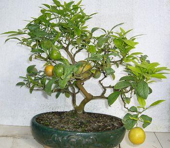 Photo du bonsai : Citronnier (Citrus) | Terrarium, orchid bonzaï ...