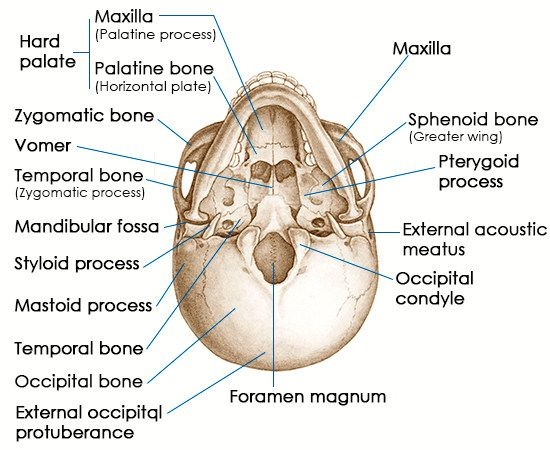 take a look at the structure and functions of the sphenoid bone, Human body