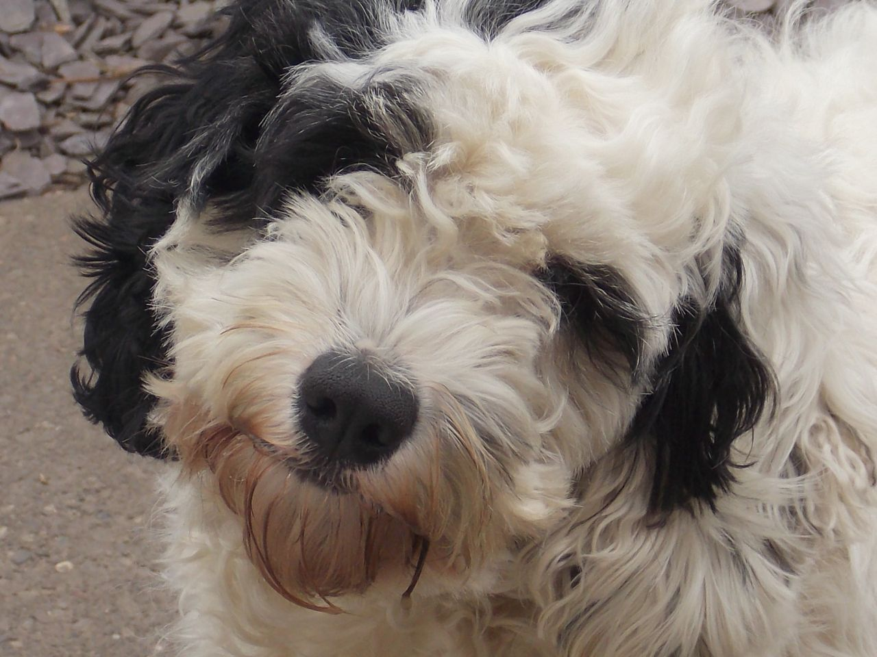 cockapoo images | year old cockapoo girl for sale | Heanor