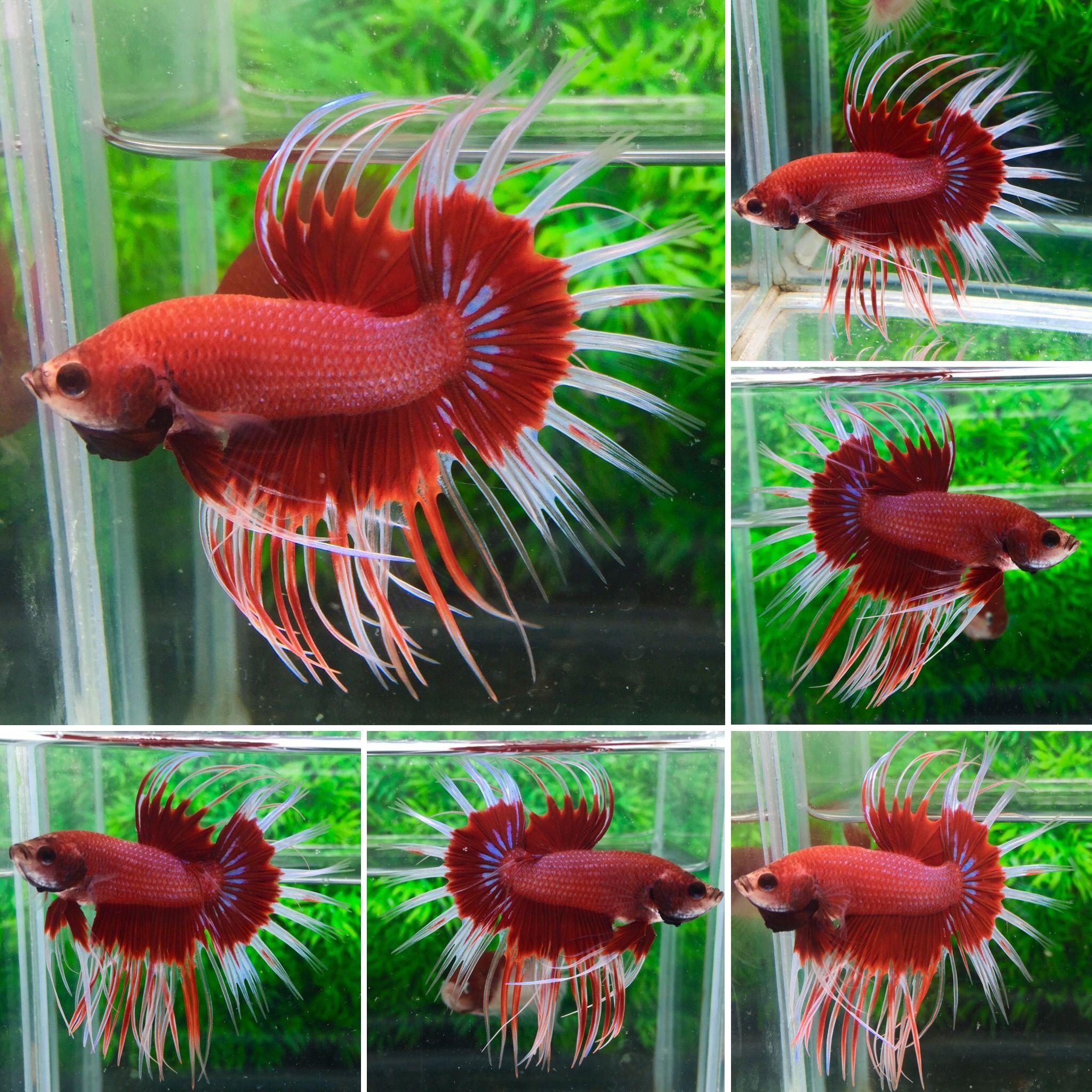 fwbettasct1491575404 - +++Red white-CT-Male+++ | Beautiful Betta ...