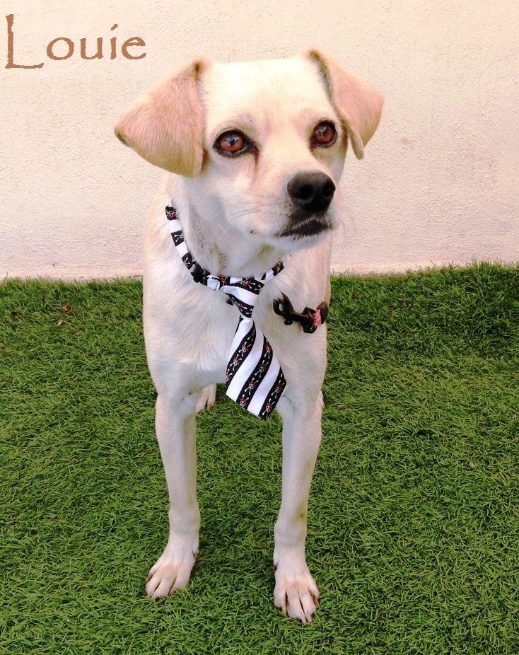 Chiweenie Dog For Adoption In San Diego Ca Adn 546249 On