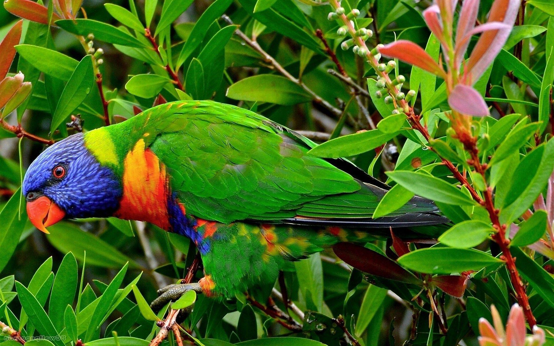 Parrot Bird Picture HD Wallpaper   Wallpapers Heavens ...