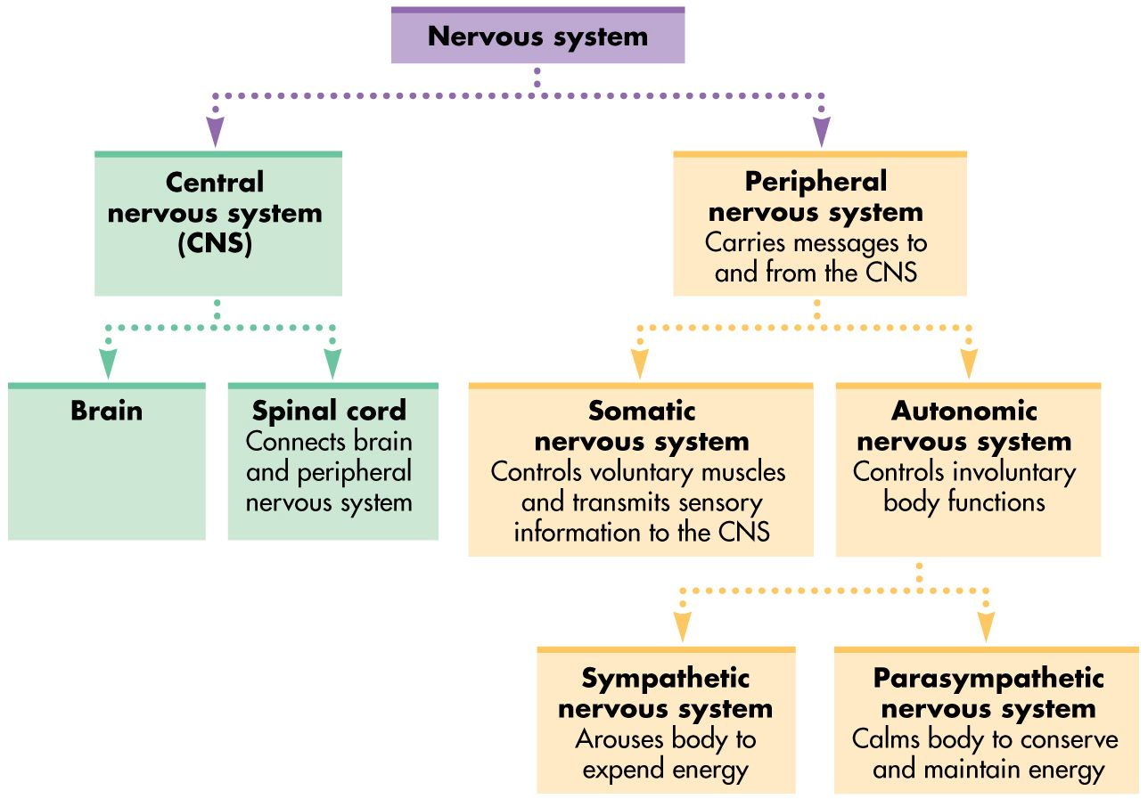 Nervous System Organization Chart Submited Images Pic 2