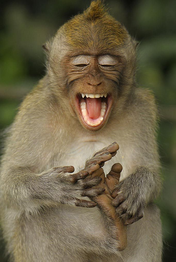 Laughing long tailed macaque tickles his own feet