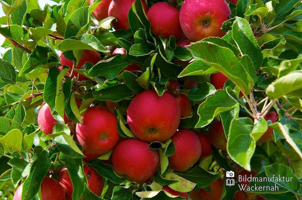 nice Apfelplantage Königreich Numero 9,  #Landleben