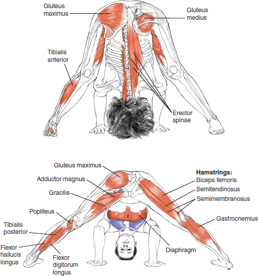 Yoga Muscle Map on yoga energy, yoga international, yoga back, yoga stretches, yoga adrenal glands, yoga leg workout, yoga history, yoga skin, yoga peace, yoga anatomy, yoga strength, yoga mind, yoga bones,
