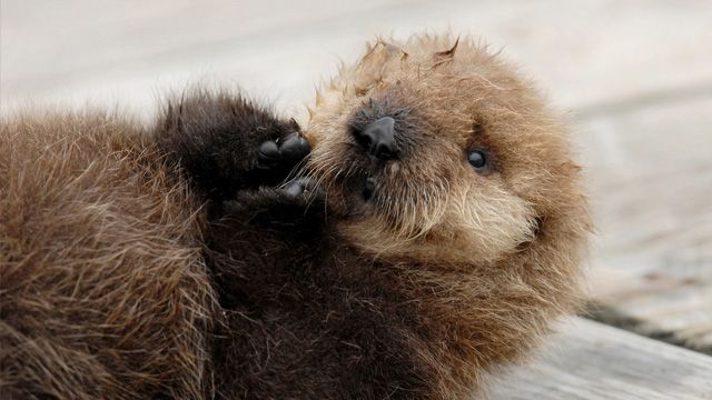 Wild southern sea otter pup