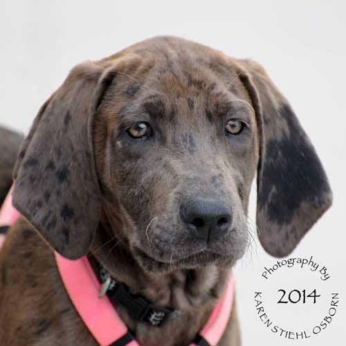 Adopt Alex On Great Dane Puppy Labrador Retriever Dog Dogs