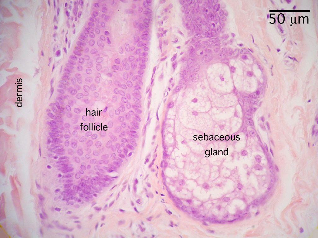 Hair Bulb Histology