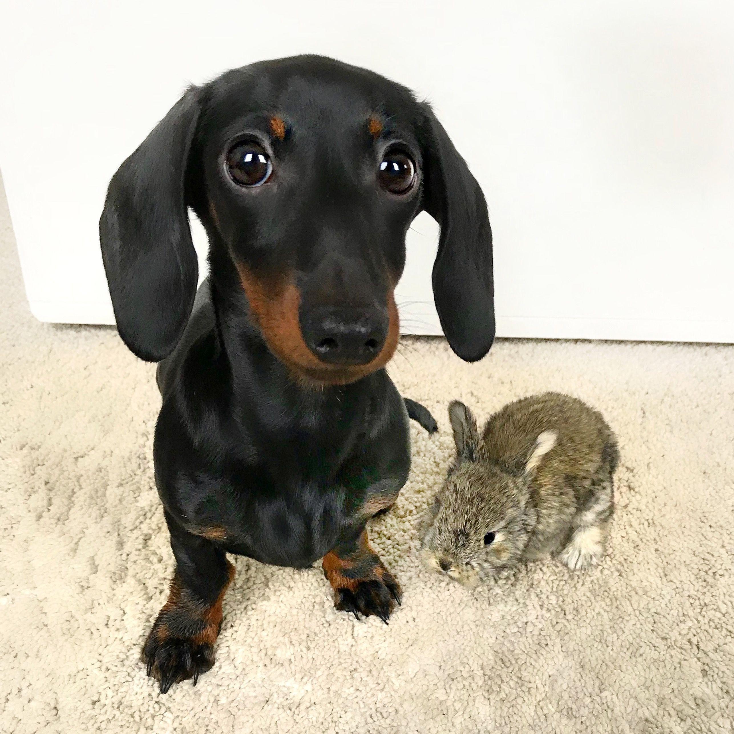 Loulou Bunny Weenie Dogs Dachshund Puppy Miniature Dachshund