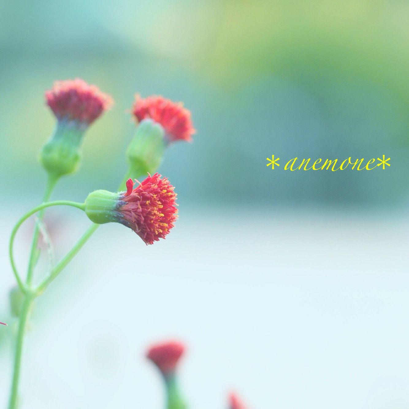 #カカリア#ベニニガナ#flower