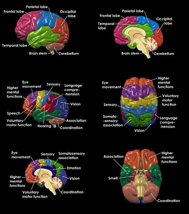 The brain and its function … | Brain anatomy, Brain facts ...