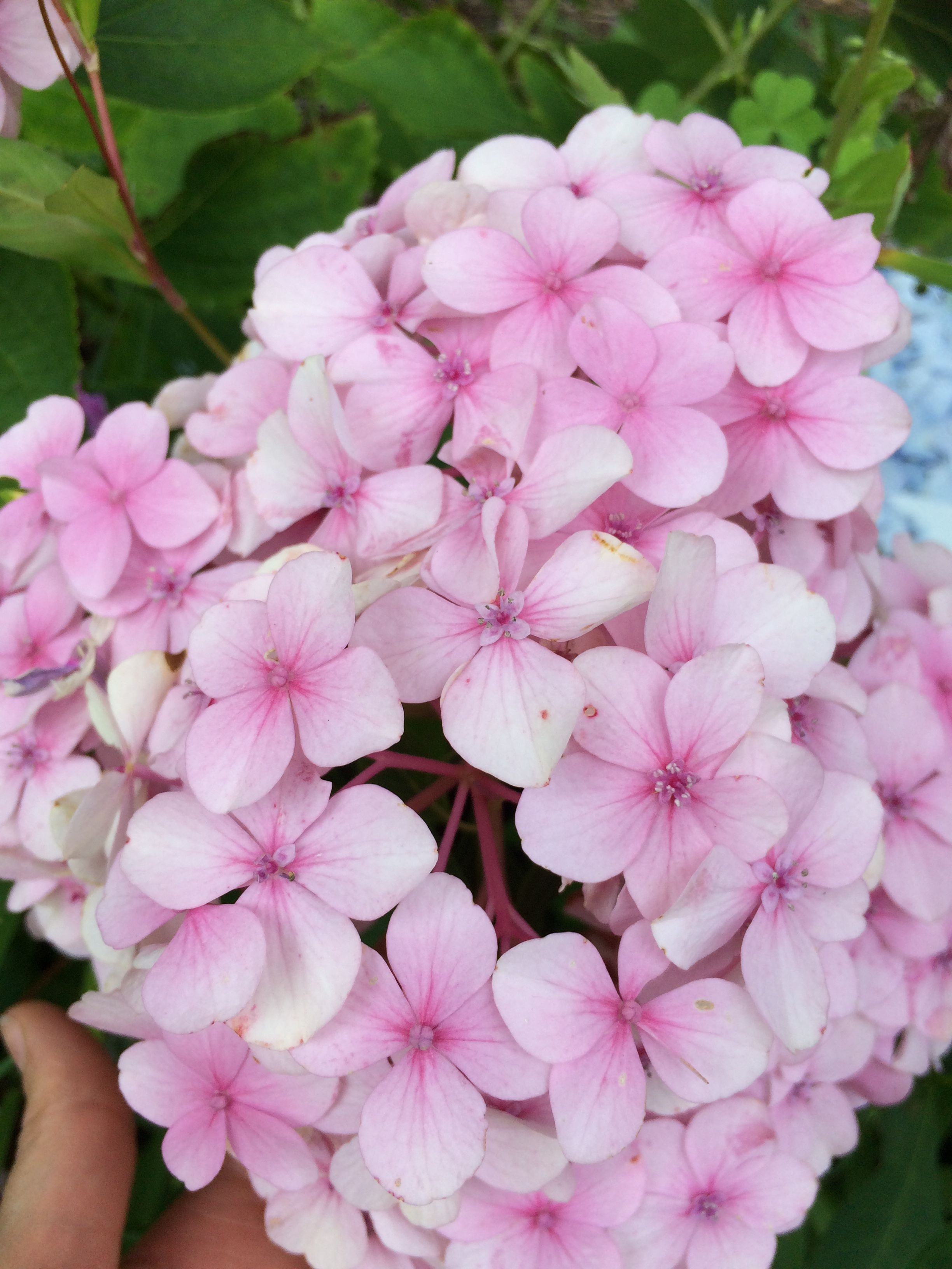 Mini Penny 2 3 Ft Tall 3 4 Ft Wide Blooms On Old Wood Mildew Resistant Hydrangea Monrovia Plant Catalogs Hydrangea
