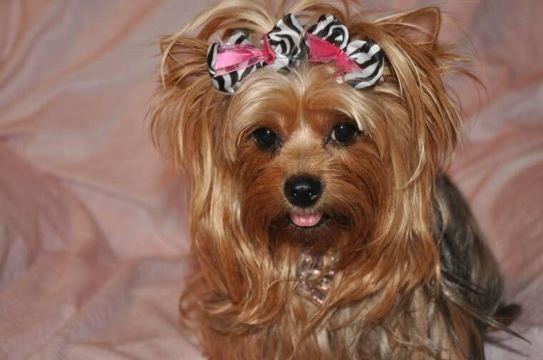 Best Hair Bows Bow Adorable Dog - e053f19cba0a243729ad57ec869c1008  Image_586164  .jpg